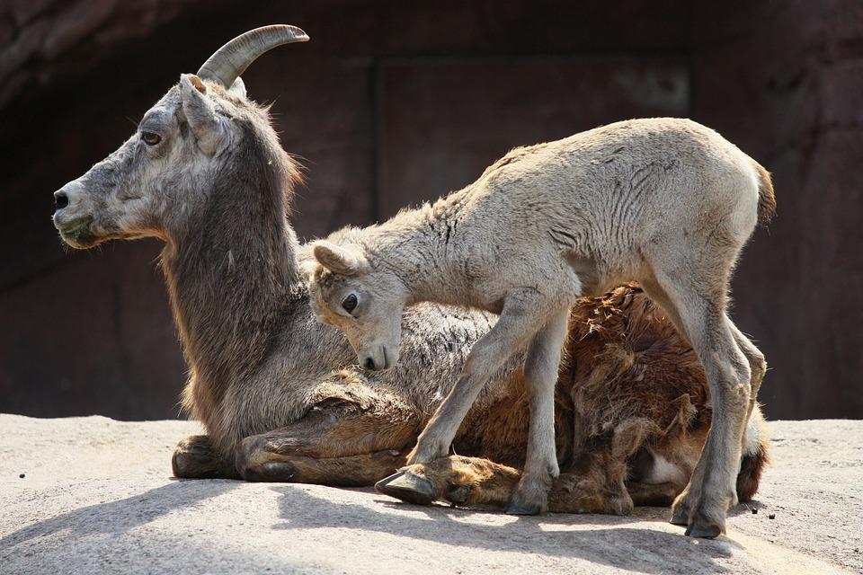 Goat, Mountain Goat, Kid, Horns, Animal, Goats, Zoo