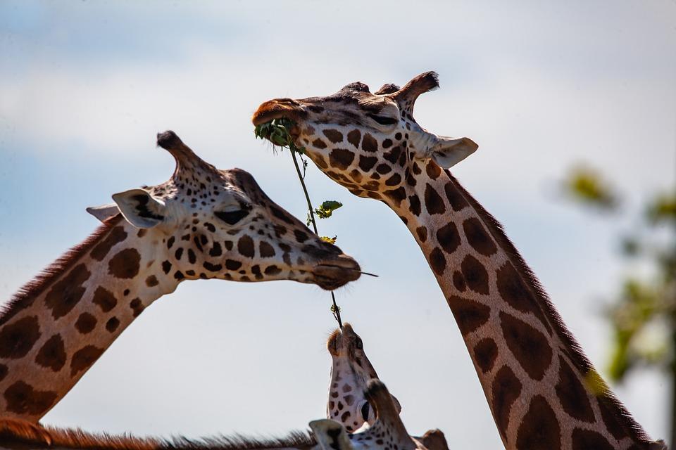 Giraffe, Long Neck, Horns, Long Legs, Animal, Neck