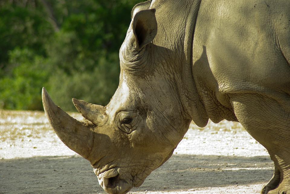 Rhinoceros, Horns, Wild Animal