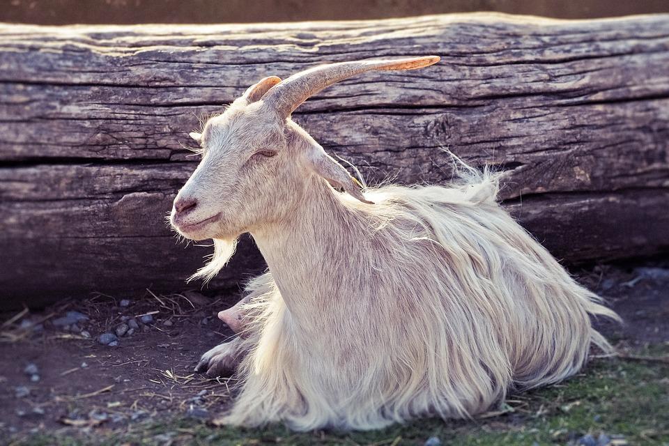 Animal, Goat, Horns, Domestic Goat, Mammal, Ruminant