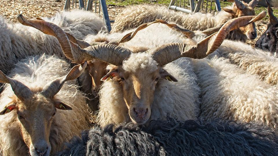 Zackelschaf, Sheep, Hungary, Horns, Rotated, Horn