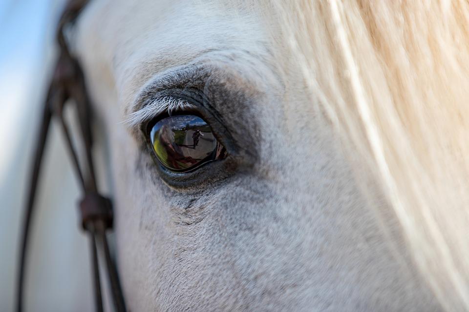 Horse, Head, Eye, Animal, White Horse, Equine, Closeup