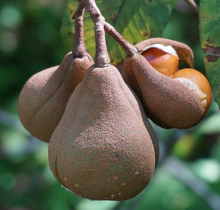 Japanese Horse Chestnut Pods, Opening, Horse Chestnut