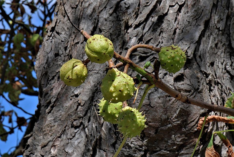 Chestnuts, Horse Chestnuts, Chestnut Fruits, Nature