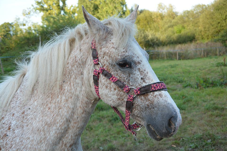 Horse, Horse Color Appaioosa, Portrait Horse, Profile