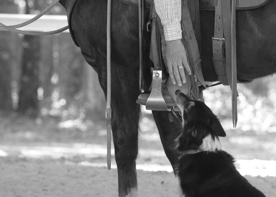 Horse, Cowboy, Rider, Dog, Border Collie, Equestrian