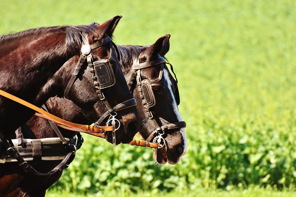 Horses, Coach, Horse Drawn Carriage, Team, Monteaura