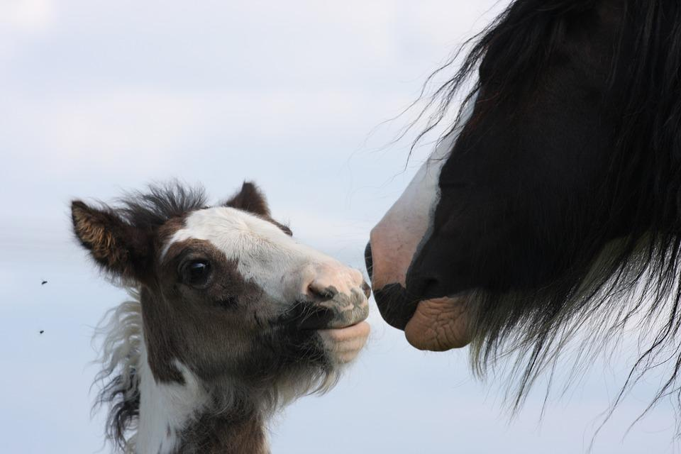Foal, Horse, Gypsy, Young, Equine, Animal, Nature, Dam