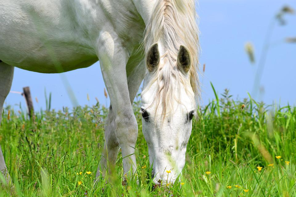 Horse, Animal, Grazing, White Horse, Equine, Rural