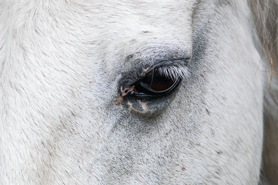 Horse, Horse Eye, Mold, Thoroughbred Arabian, Animal