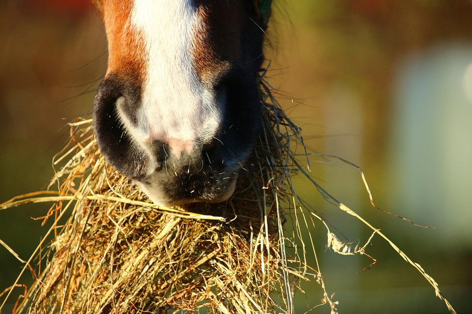 Horse, Hay, Eat, Foot, Thoroughbred Arabian, Foal