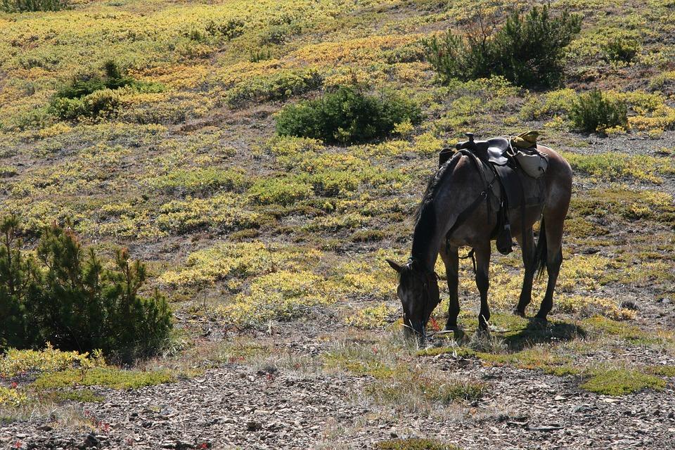 Horse, Western, Ride, Graze, Canada