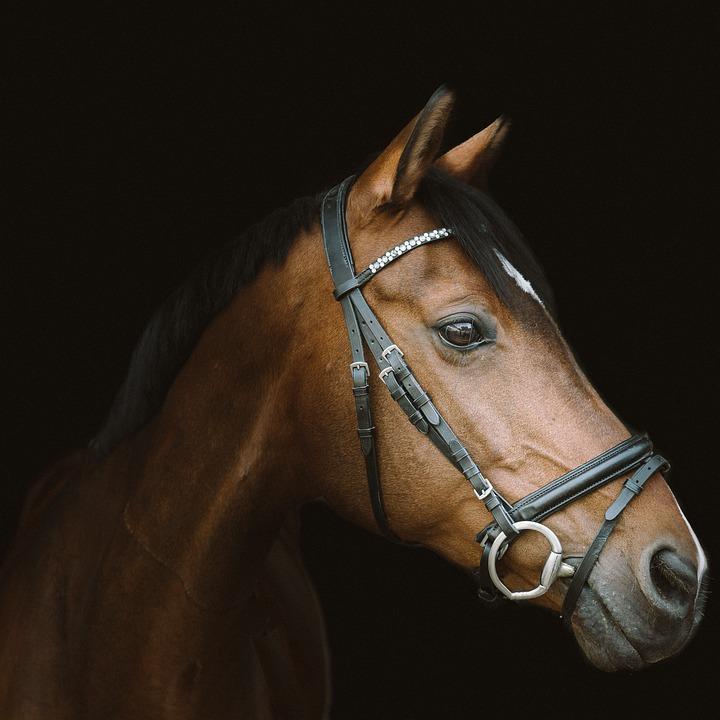 Horse, Horse Head, Mare, Portrait, Equestrian