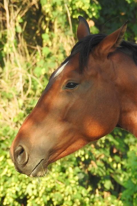 Horse, Head, Horse Head, Animal Portrait, Nostrils