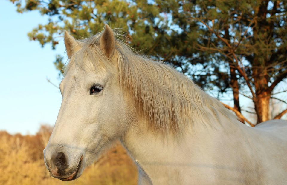 Horse, Horse Head, Animal, Horse Mane, Ride