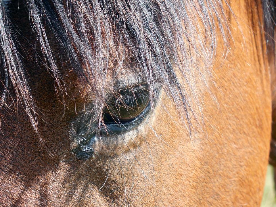 Horse, Horse Head, Nostrils, Eyes, Mane, Saddle Horse