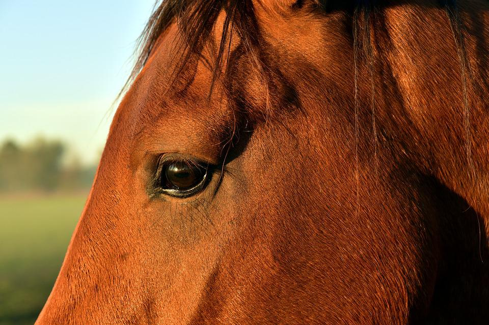 Horse Head, Eyes, Horse Eye, Close Up, Fur, Mane, View