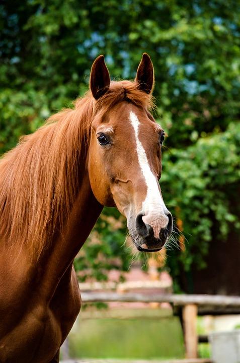 Horse, Mare, Fuchs, Hungarian Half-blood, Horse Head