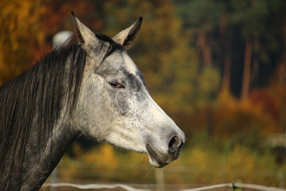 Horse, Mold, Thoroughbred Arabian, Horse Head, Autumn