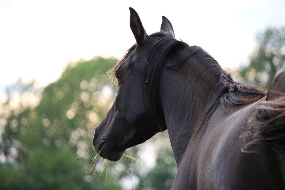 Horse, Horse Head, Rap, Thoroughbred Arabian