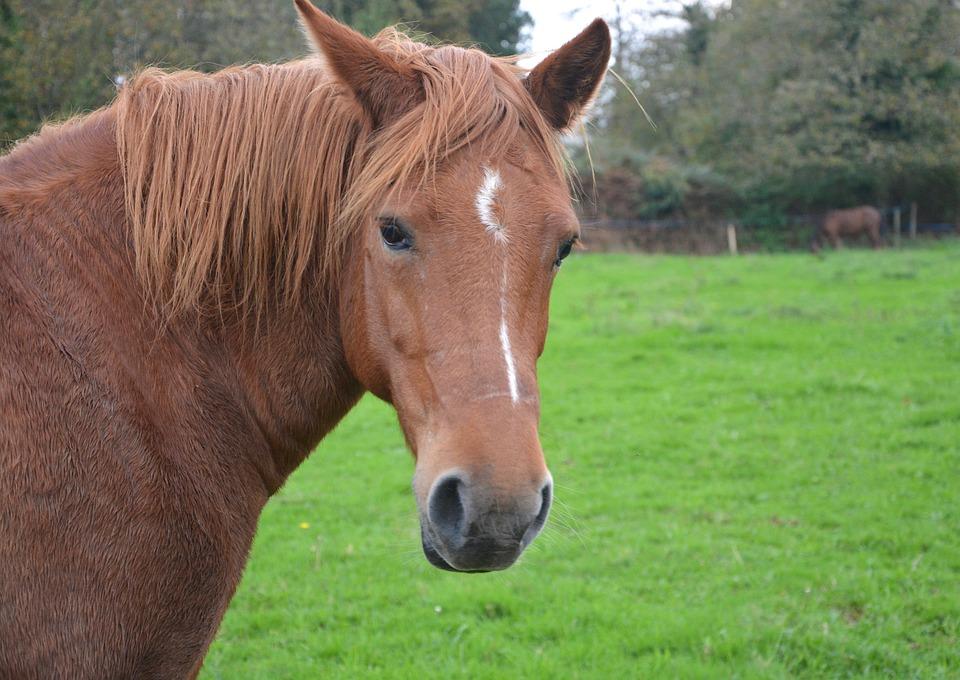 Horse, Mare, Ears White, Mane Brown, Horseback Riding