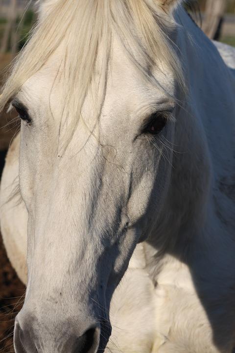 Horse, Animal, Horseback Riding, White, Head
