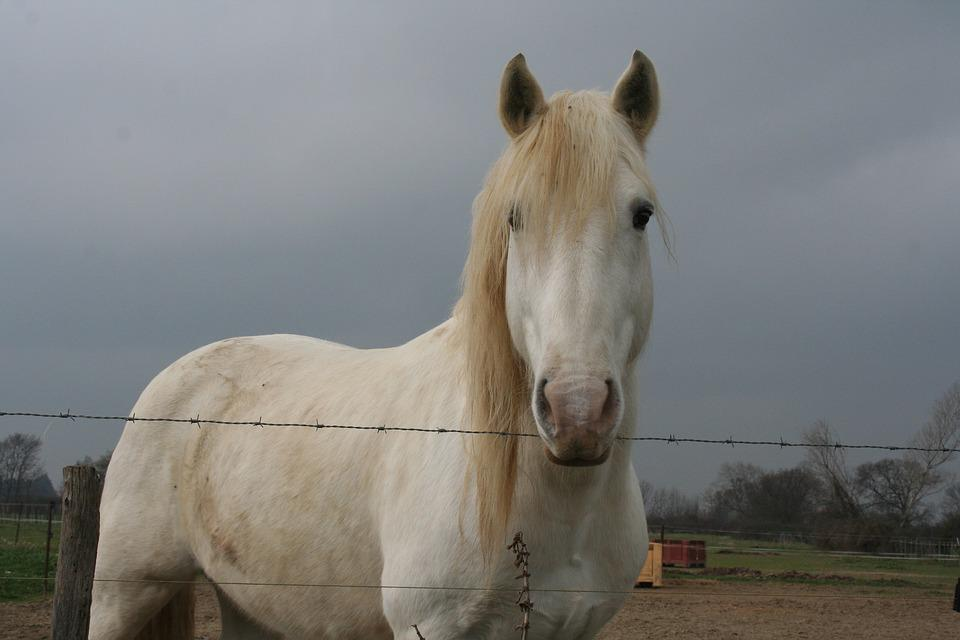Horse, Camargue, Horses, Gardian, Animals, Nature