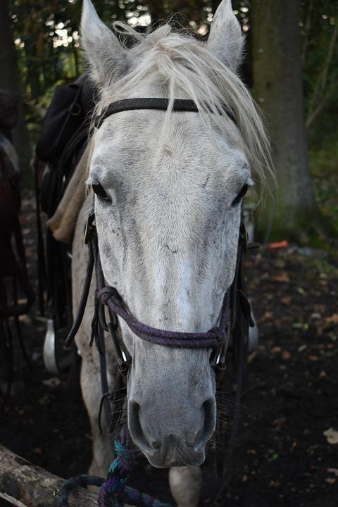 Head, Horse, Horses, Portrait, Moons, Mammal, Ride