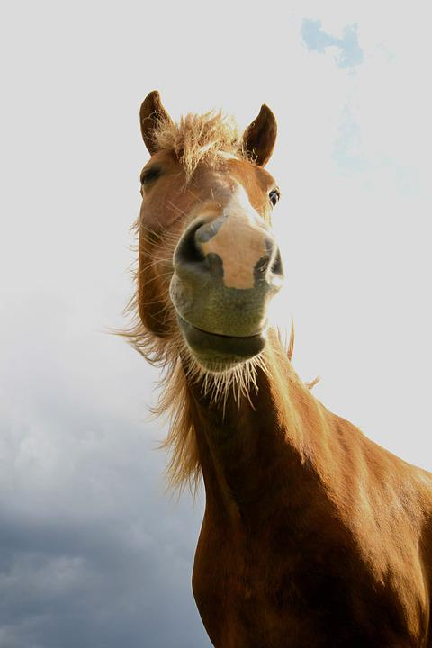 Animals, Horse, Mammals, Hair, Fur, Icelandic Horse