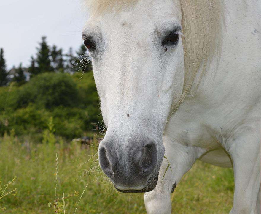 Horse, White, White Horse, Mold, Horse Head, Mane