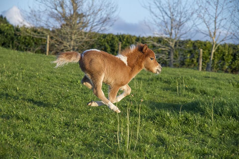 Miniature Horse, Horse, Galloping, Little Pony, Mini