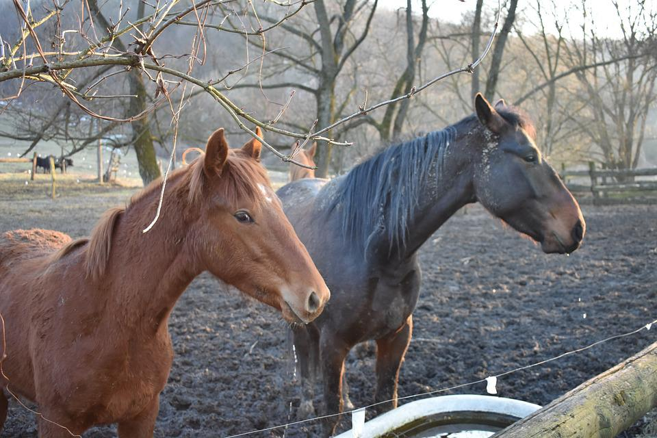 Horse, Horses, Nature, Animal, Animals, Mane, Farm