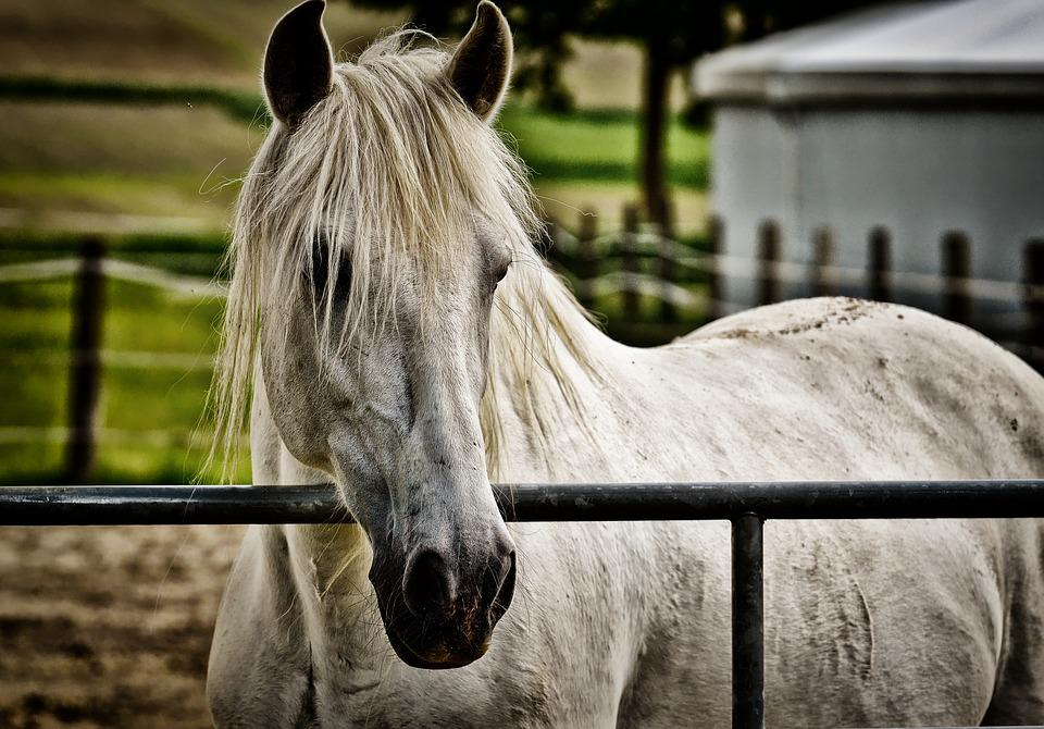 Mold, Horse, Coupling, Pasture, White, Animal, Nature