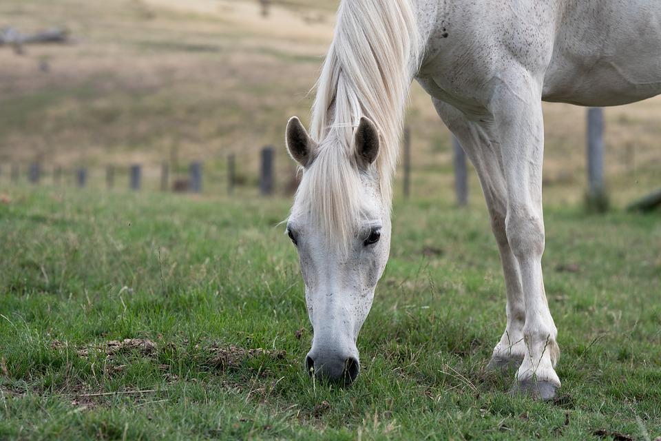 Horse, Pony, Equine, Australian Pony, Grey, Grazing
