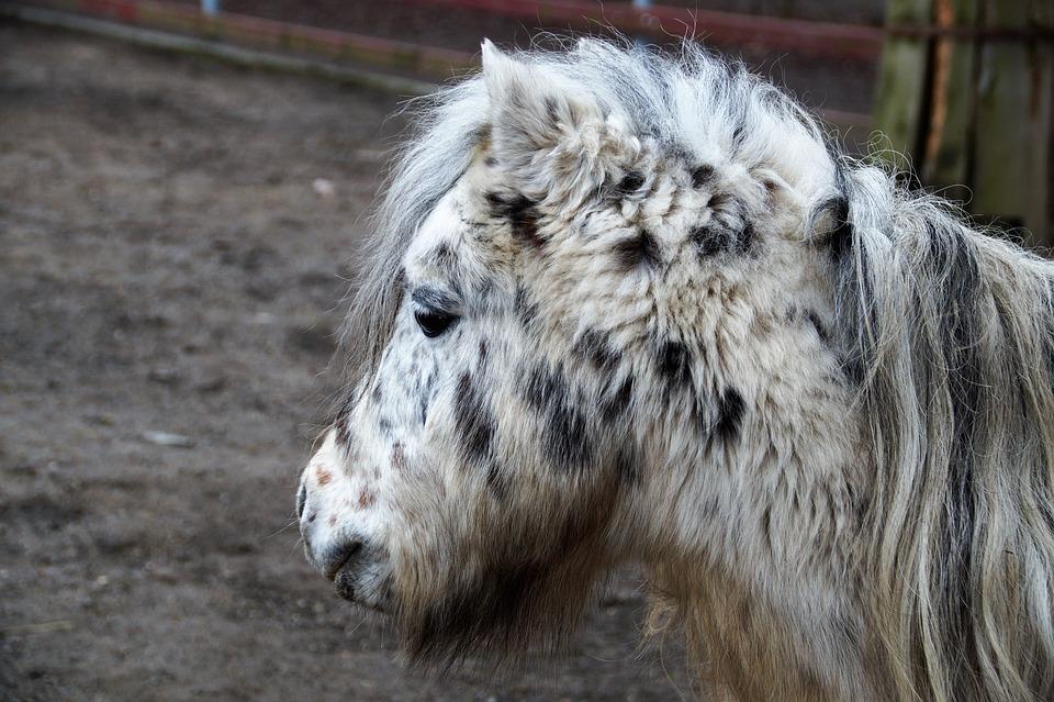 Pony, Grasshopper, Horse, Mane, Zoo