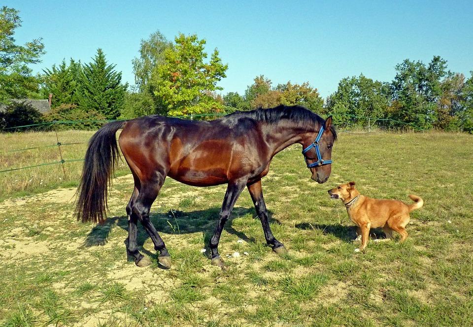 Horse, Pure Arab Blood, Breeding Horses, Prairie