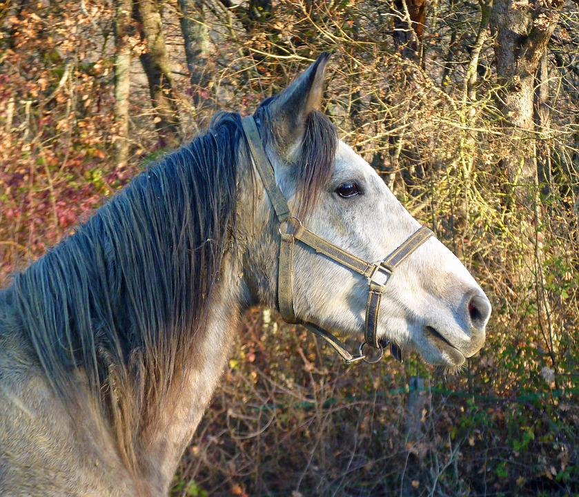 Horse, Pure Arab Blood, Horses, Breeding Horses, Head