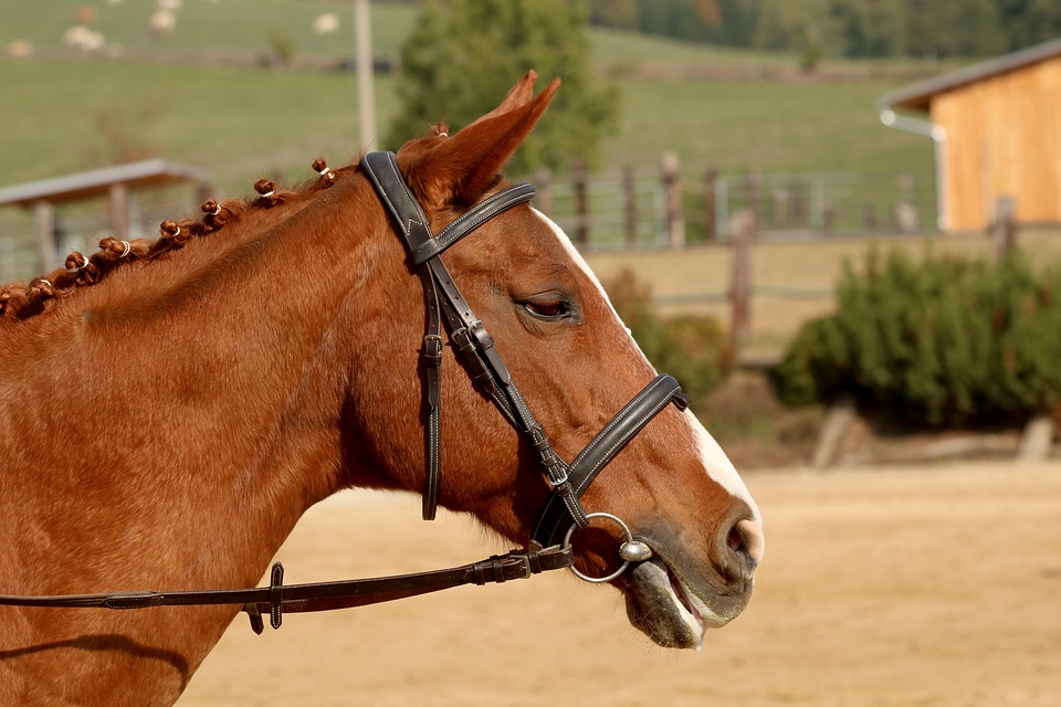 Horse, Head, Portrait, Animal, Mane, Horse Riding
