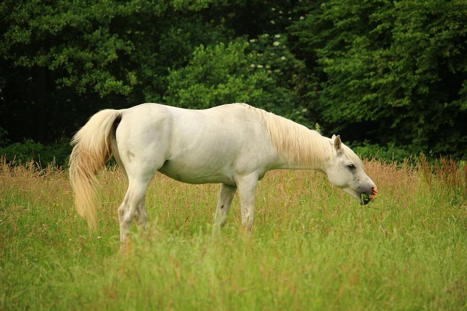 Horse, Thoroughbred Arabian, Mold, Pasture, Stallion