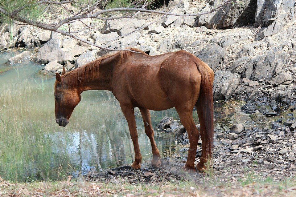 Horse, Waterhole, Rural, Farming, Drinking, Nature