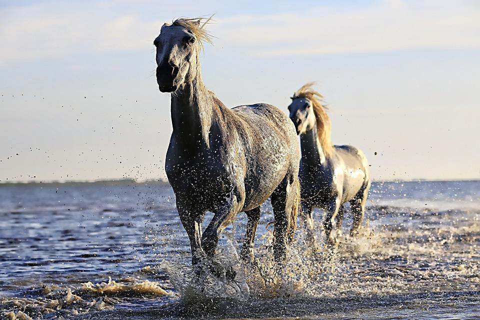 Horse, White, Horsehair, Equine, Horseback Riding, Mane