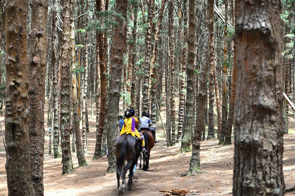 Horseback Riding, Equestrian, India, Pine Trees, Forest