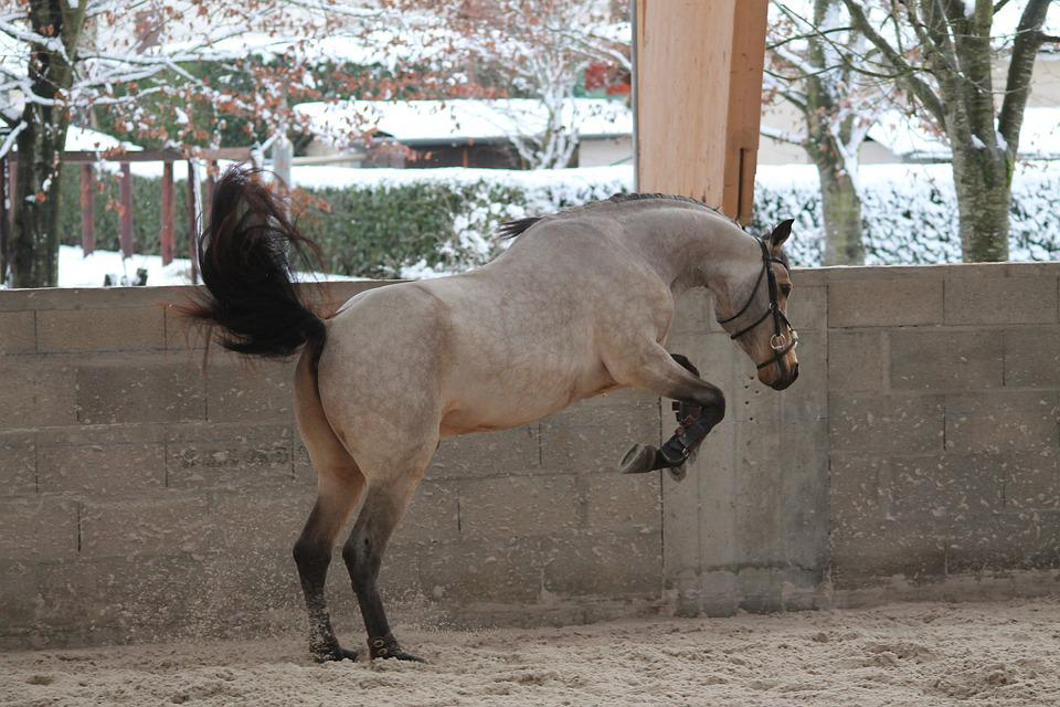 Pony, Horse, Standard, Animals, Horseback Riding