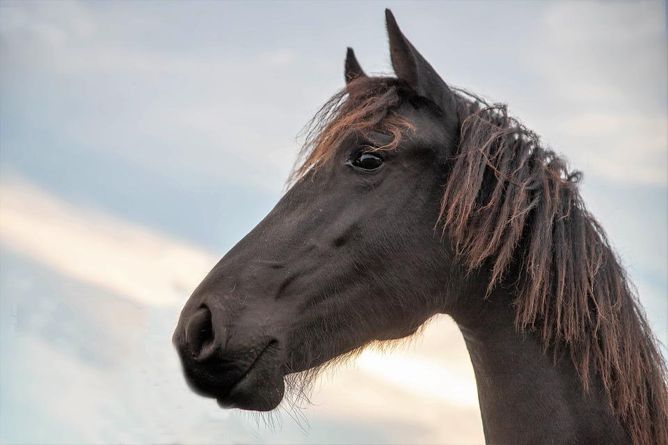 Horse, Horsehead, Noble, Friesian Horse, Animal, Horses