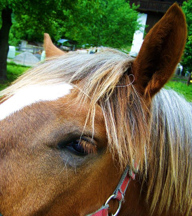 Horse's Eyes, Horse Ears, Mane, Animal