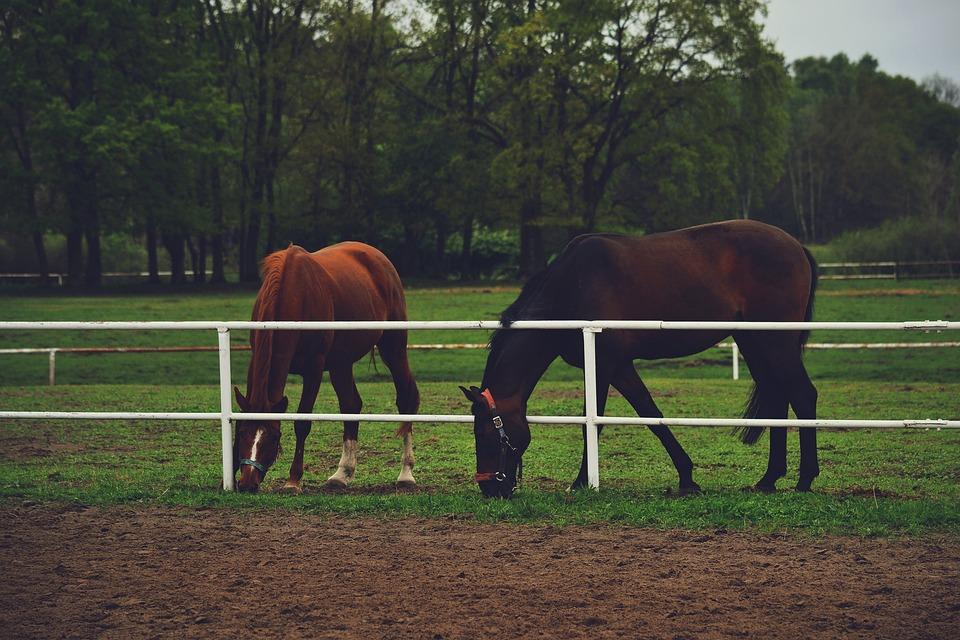 Horses, Ranch, Animal, Brown, Farm, Field, Stallion