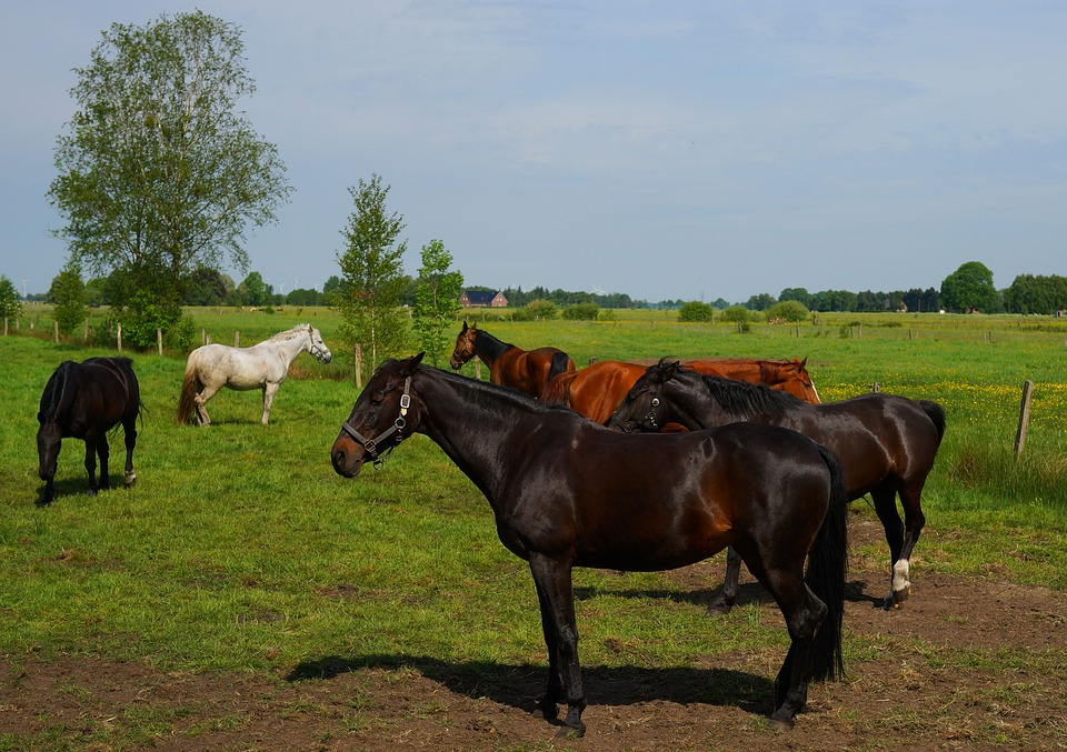 Pasture, Horses, Graze, Coupling, Meadow, Nature