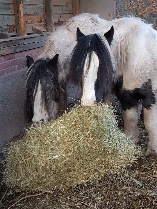 Horses, Horse, Irish Cob, Hay, Forage, Winter