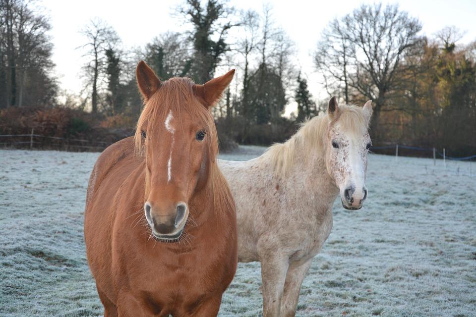 Horses, Mares, Portrait, Head, Horseback Riding