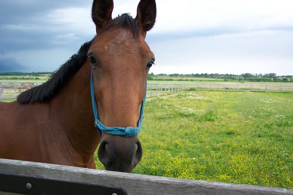 Precious People, Hungary, Horse, Animal, Horses